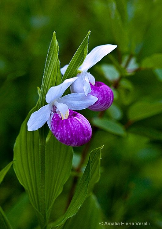 76 best lady slippers images on pinterest exotic flowers my flower lady slipper purple plum white green eshqua bog vt id 13090959 amalia elena veralli mightylinksfo