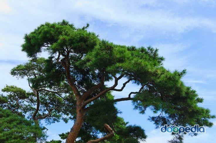 포항 용천리 소나무