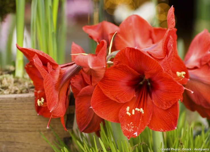 D couvrez l 39 amaryllis un bulbe plein de ressources for Amaryllis planter bulbe