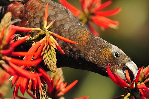 Our neighbour, a rare Kaka bird, photographed in Albert Park by our own Andy McIntyre