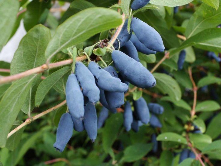 fruits baie de mai