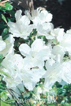 Girard Pleasant White Azalea. Part shade to part sun. 2' – 3' tall and wide. Evergreen