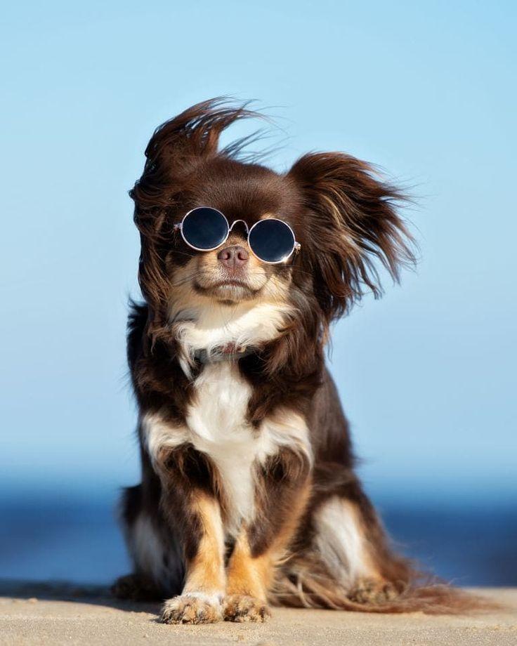 бля смешные фото с собакой чихуахуа татуажа бровей