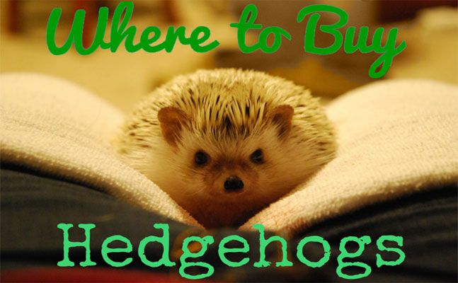 When buying a hedgehog, you want to find the right hedgehog for you. Learn about where to buy a hedgehog.