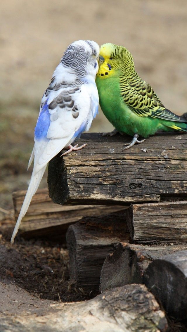 The green budgie shows some pale marks, looks like dustiness, on his beak and cere.  This could jsut be dirt but it is also very much like what Scaley Face mites cause before the real damage is done.