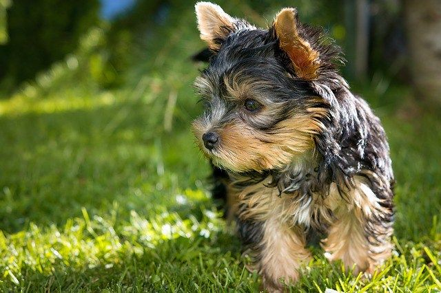 Yorkshire Terrier: Finding Your Breed and a Breeder
