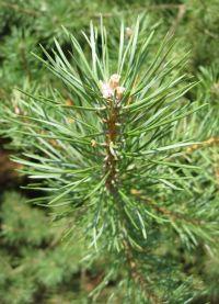Blatt von Pinus sylvestris Wald-Kiefer, Wald-Föhre