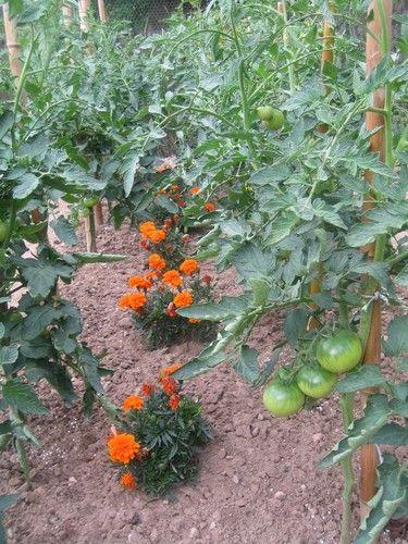 Les oeillets d'Inde protègent les tomates