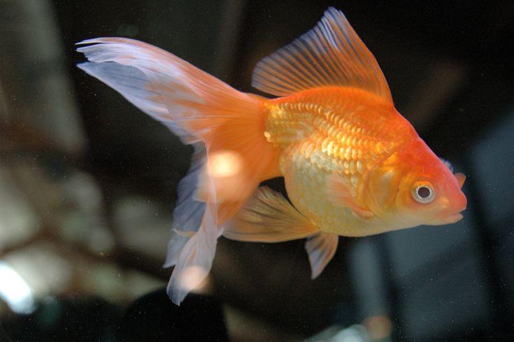Il pesce rosso è il più comune tra i pesci d'acquario, ma non per questo meno interessante!