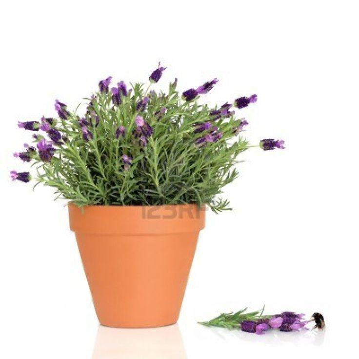Lavender in terracotta pots jana 39 s wedding pinterest - Growing lavender pot ...