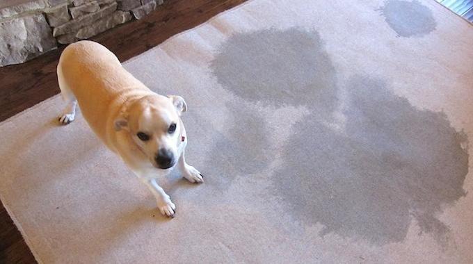 Vous avez un animal de compagnie, chien ou chat par exemple. Et il a uriné sur votre tapis ou votre moquette ? C'est sale et ça sent mauvais. Mais heureusement, il y a des astuces pour ça. V...