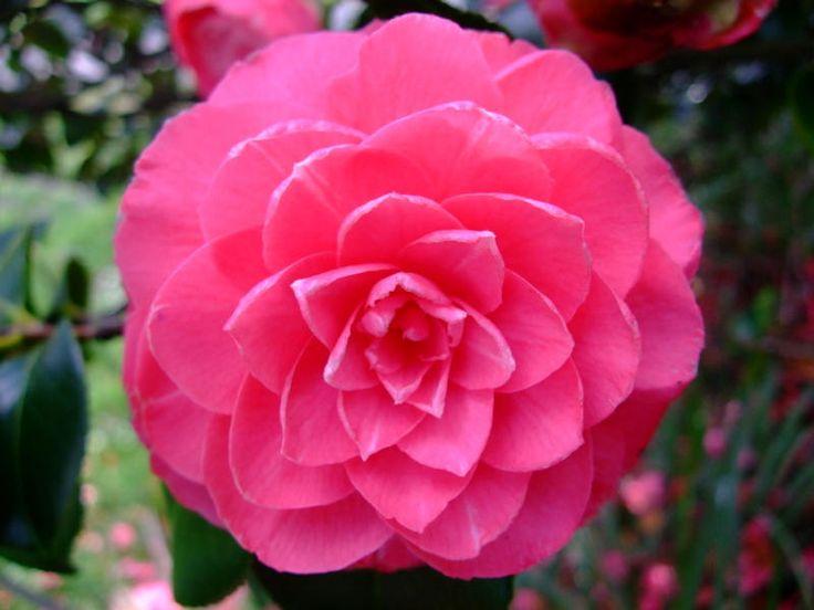 https://flic.kr/p/22tP3f3 | Camellia | www.youtube.com/user/yewmchan/videos