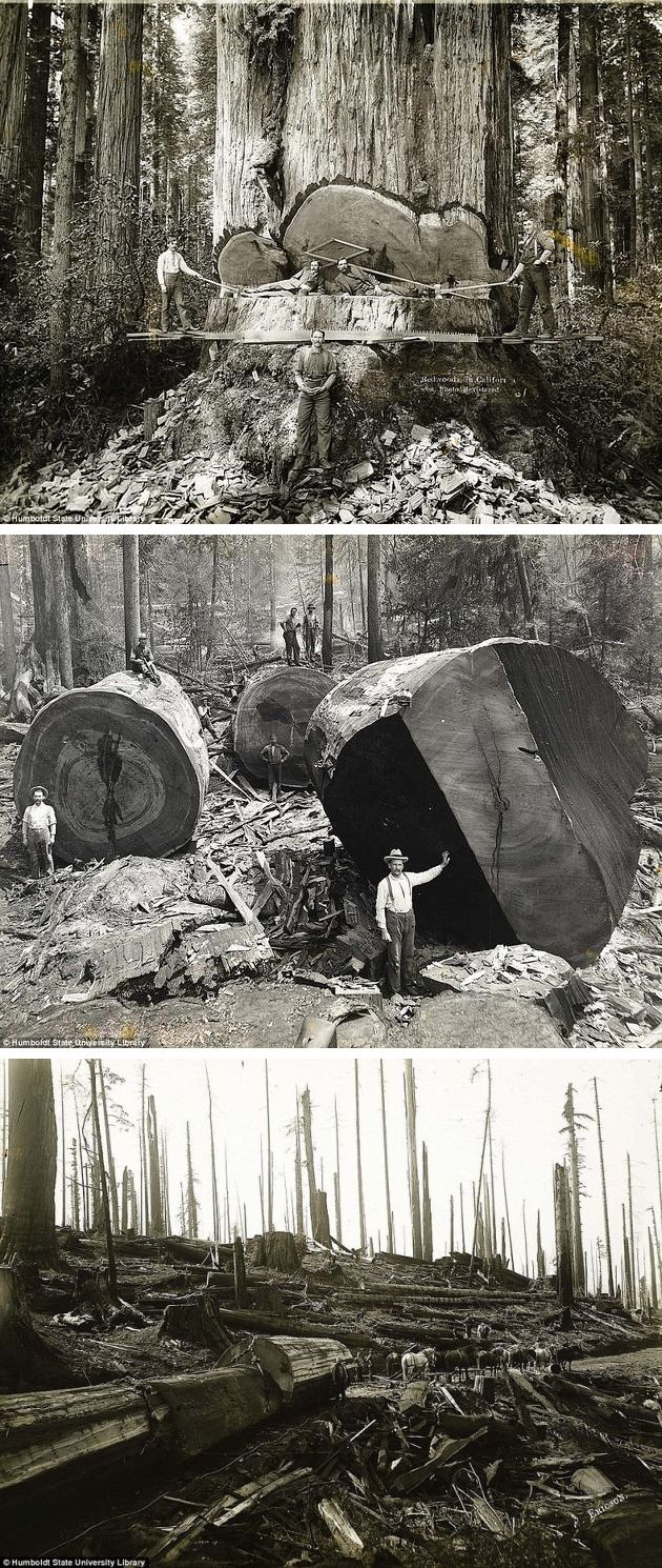A series of photos from the 1915-era capture lumberjacks working among the redwoods in Humboldt County, California, when tree logging was at its peak. The photos are part of the Humboldt State University Library Special Collections, a series of pictures from northwest California from the 1880s through the 1920s by Swedish photographer A.W. Ericson.  This is another part of our history that makes me want to weep.  #America #myt