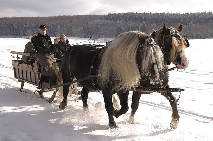 Rare Black Forest Draft horses from Germany
