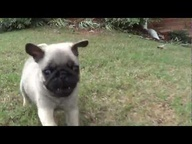 OMG! Cutest thing in the world!!! See cute Pug puppies from local breeders At http://www.19breeders.com Subscribe for more videos! yorkie maltese poodle shih tzu pomeranian mini schnauzer lhasa apso bichon frise german shepherd siberian husky golden retriever