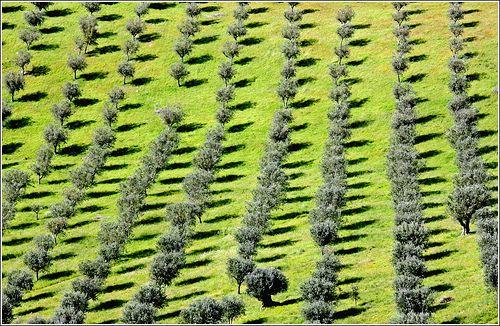 Olive trees with shadows, Alentejo