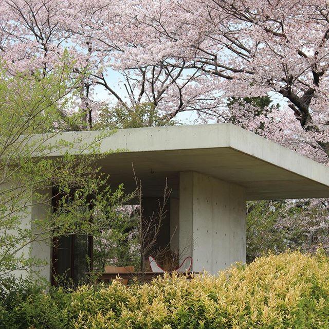 【tomoaki.uno】さんのInstagramをピンしています。 《桜街道の家 2004 Sakurakaidoh house 2004 桜の時期は屋根に覆いかぶさらんばかりに咲きほこる。 #建築#建築家#宇野友明#宇野友明建築事務所#鉄筋コンクリート造#家作り#シンプル#写真#photograph#建築写真##tomoakiuno#concrete#exposedconcrete#garden#庭#テラス#桜#cheryblossms#花見#垣根#プリペット》
