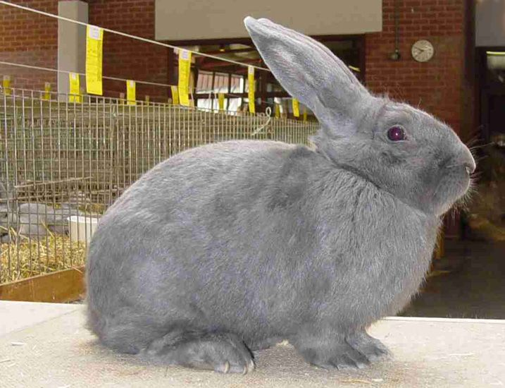 Cuniculture - Photothèque races de lapins originaires de Belgique. Bleu de Ham