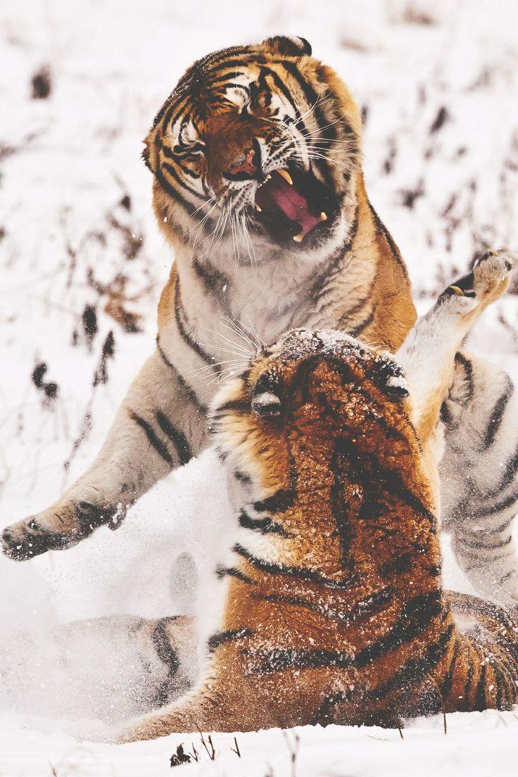 Tigre #animali