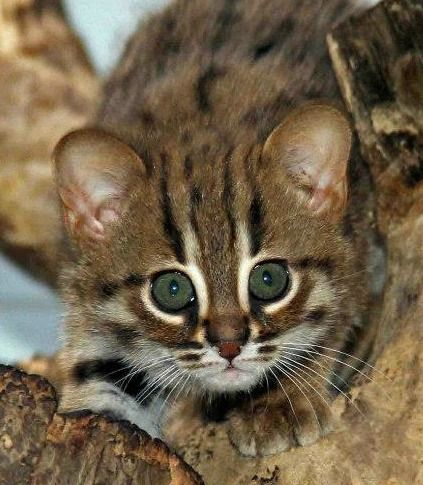 The Berlin Zoo is celebrating the first birth of Rusty-Spotted Cats in its 168-year history.  Rusty-Spotted Cats are the world's smallest wild cats, weighing only 2.0 to 3.5 lb (0.9 to 1.6 kg) as adults.