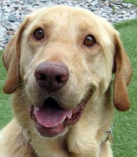Lab Rescue of the LRCP --adopt