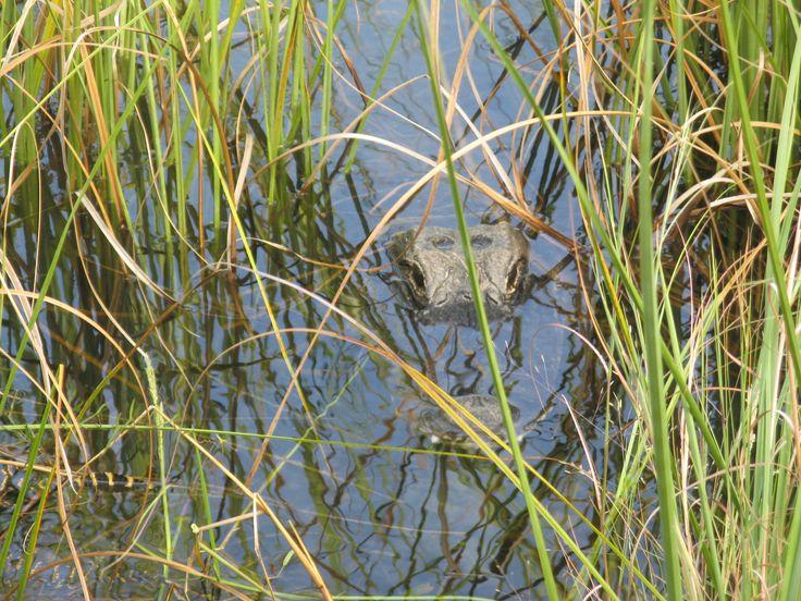 Gator! In de Everglades.