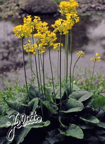 PRIMULA florindae Tibetan Primrose, Himalayan Cowslip