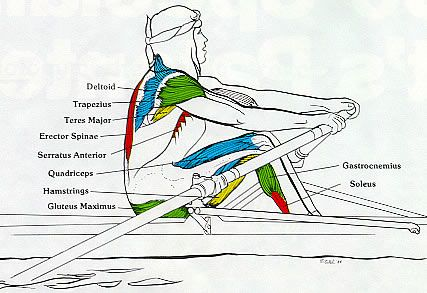 how biomechanics influences olympic rowing The biomechanics of rowing are complex and have not yet been fully explained,   the influence of the movement and hence the moment of the crew can be   oarsmen including one who later became an olympic gold medallist, figure 6.