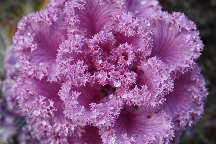 Violet kale (for my garden!)
