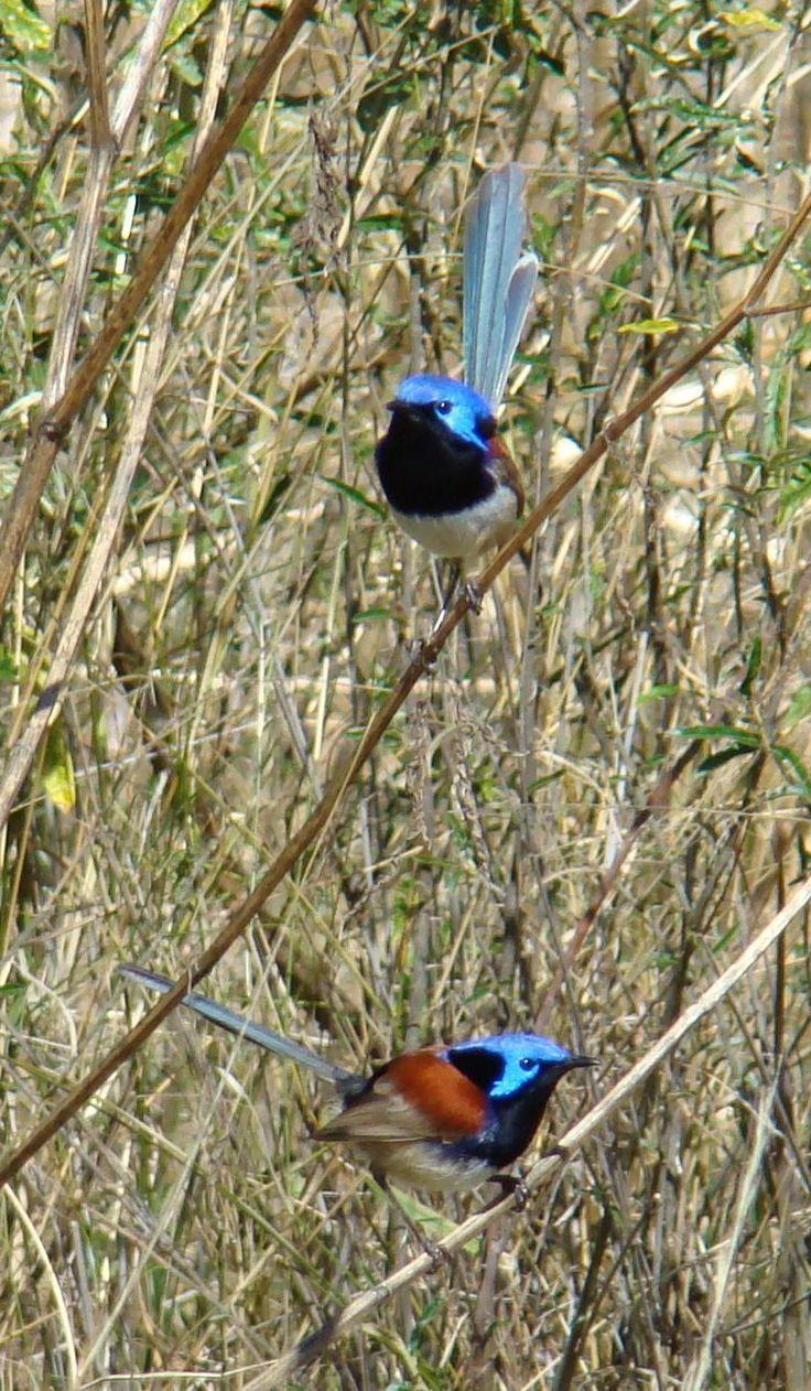 124 best australian birds and flowers images on pinterest