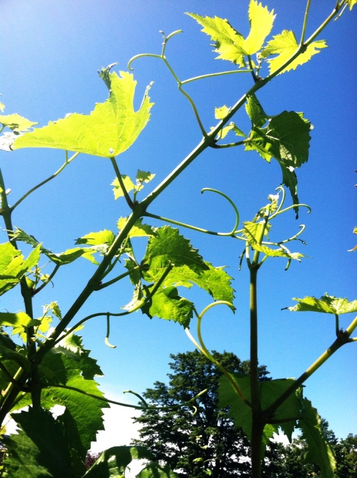 Vines in June: Chardonnay, Surroundingmyself, June, Vines
