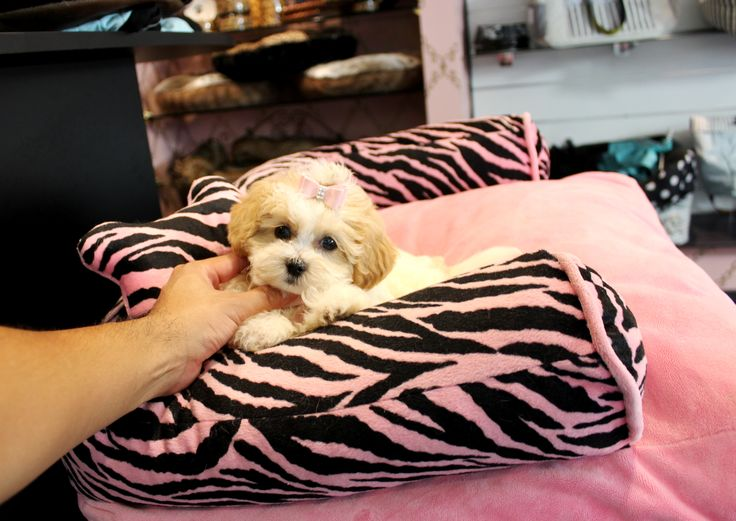 ♥♥♥ Adorable Cavalier / Poodle! ♥♥♥ Bring This Perfect Baby Home Today! Call 954-353-7864 www.TeacupPuppies... ♥ ♥ ♥ TeacupPuppiesStore - Teacup Puppies Store Tea Cup