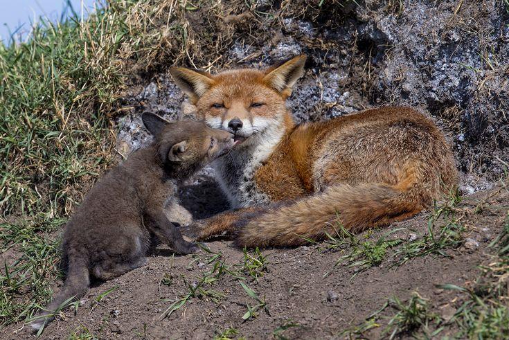 "IlPost - ""Il bacio"" – David Gibbon The Mammal Society Mammal Photographer of the Year –"