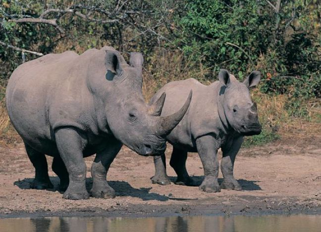 "INTERVIEW: Rhino Wars' ""Biggs"" On The Battle to Stop Rhino Poaching in South Africa  http://greenglobaltravel.com/2013/03/18/rhino-poaching-in-south-africa-rhino-wars/"