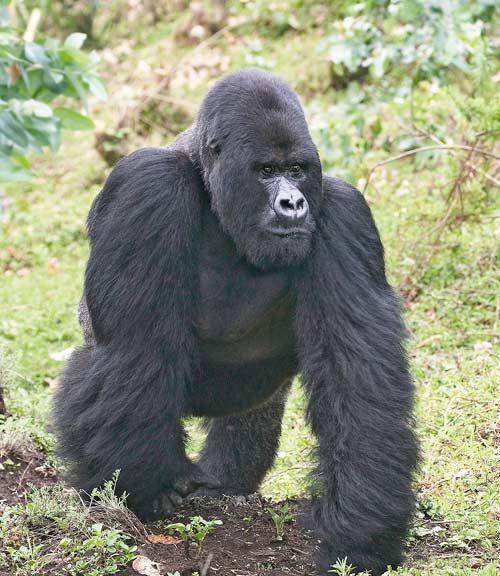 Le gorille des montagnes est en voie d'extinction. Il ne reste plus que 700 gorilles des montages dans le monde, menacés par la guerre, le braconnage, ...