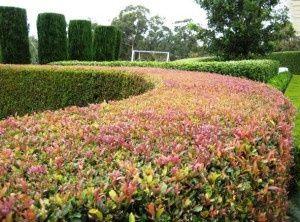 Acmena smithii 'Lilly Pilly' /  Australian Native Landscapes hedge