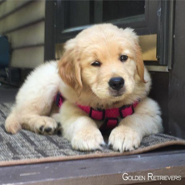 Golden Retriever Noble Loyal Companions Susse Tiere Hunde Tiere