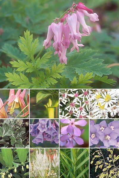 25 Plant Woodland Shade Garden Wildflowers 1 Columbine 2