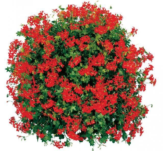 Cascade Red (Fire Cascade)