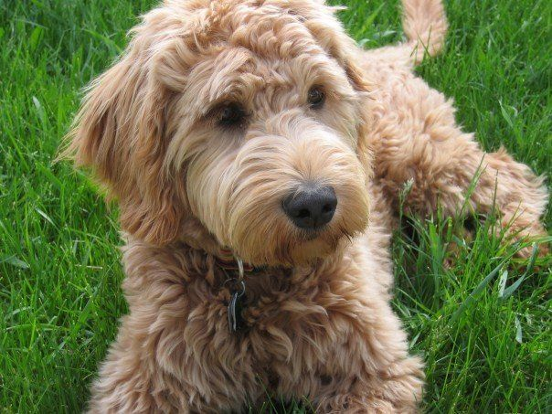 The 25+ best Full grown mini goldendoodle ideas on ...