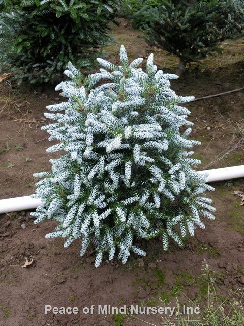 Abies koreana 'Silvershow' | Wholesale Nursery Supplies & Plant growers in Oregon | Nursery Guide