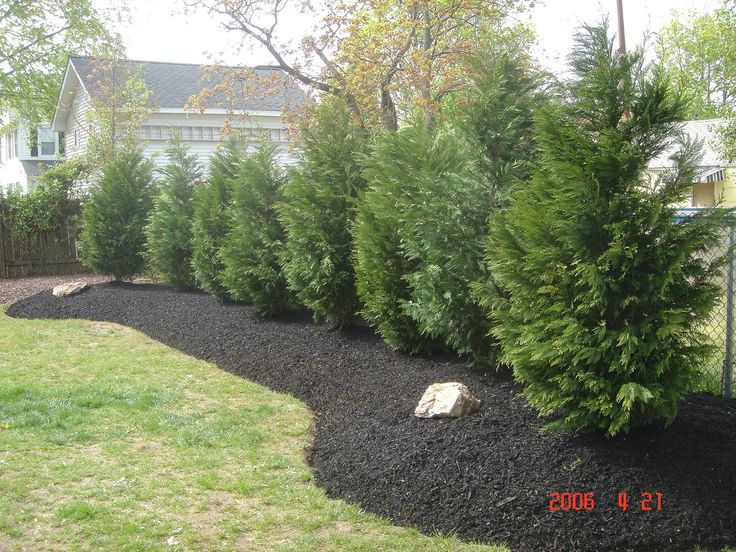 157 best images about trees conifers on pinterest sun for Arborvitae garden designs