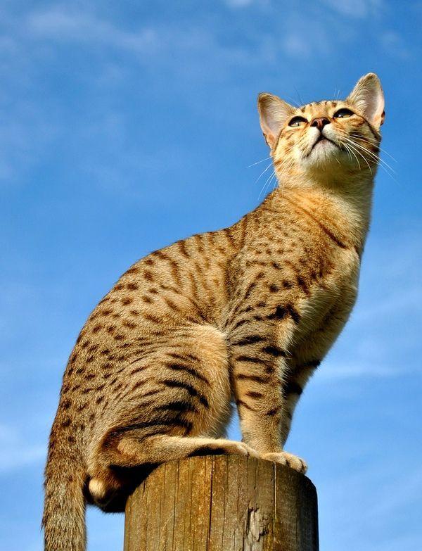 название красивые кошки в египте фото частой причиной