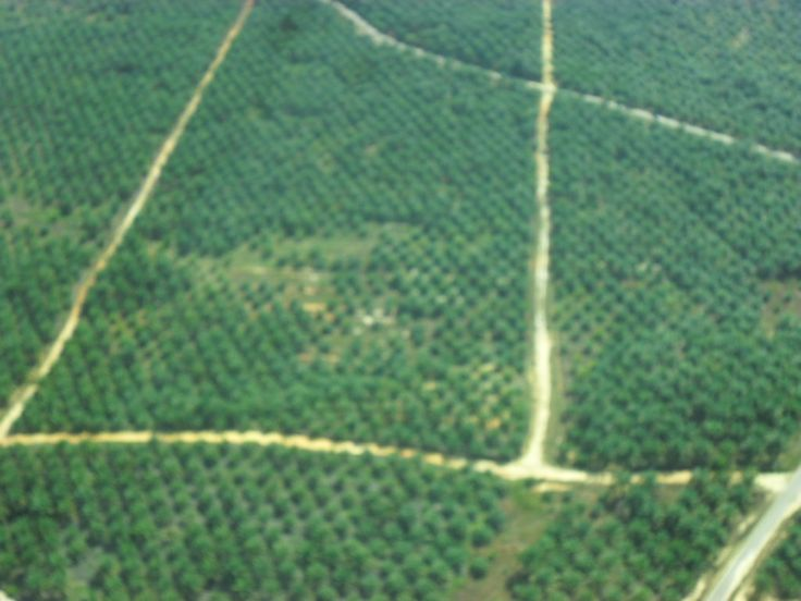 Exploitation of natural resources in the context of development, the opening of oil palm land in large scale plantations.