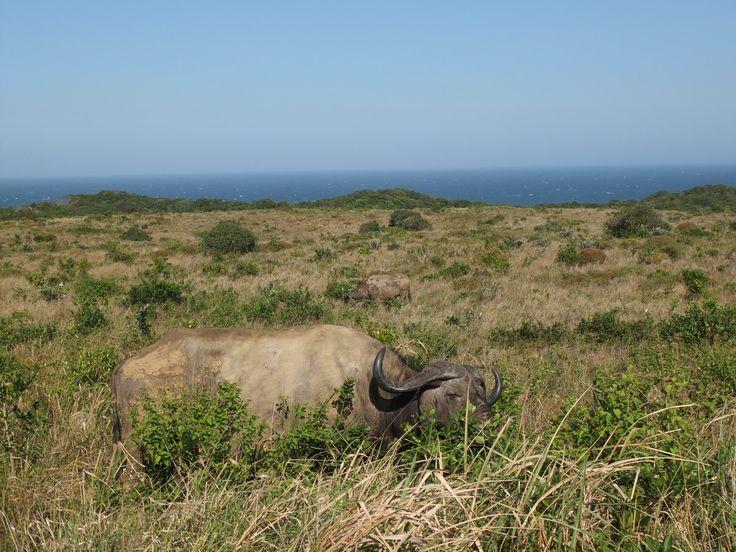 Buffalo in Cape Vidal near St Lucia, South Africa | One Footprint On The World