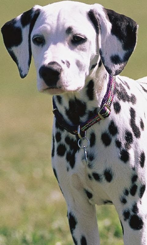 Dalmatian ~ Top 5 Fastest Dog Breeds On Earth