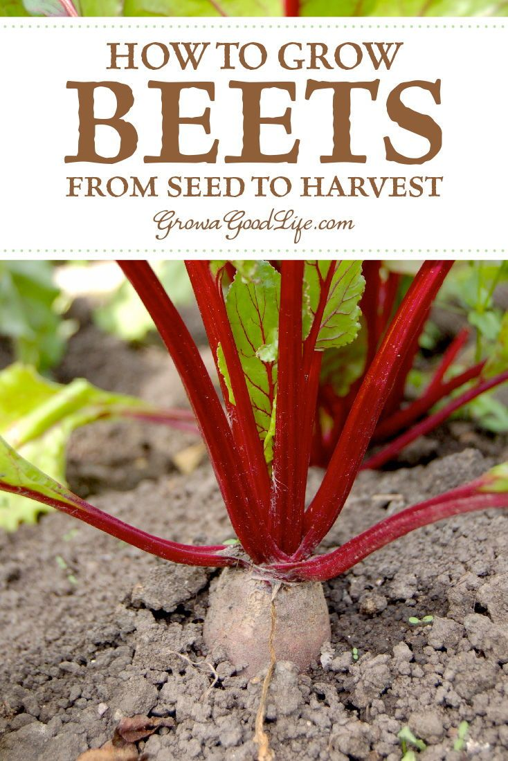 How To Grow Beets From Seed To Harvest Growing Beets Organic Vegetable Garden Growing Vegetables