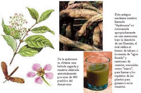 """""""El Ayahuasca"""" es una palabra quechua que significa """"liana o soga de los espíritus"""". Se trata de un preparado hecho con plantas que crecen en el Amazonas: una es la ayahuasca -que es una liana- y otra es la chacruna -un arbusto de hojas verdes y alargadas-. Para llegar a la bebida final, la mezcla se cocina con agua durante varias horas."""