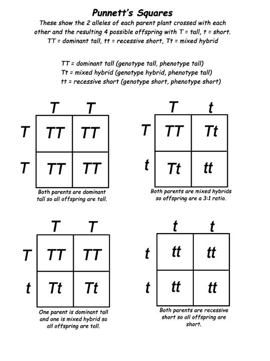 Predicting Genetics Traits - The Punnett Square. T = dominant, t = recessive. tt = recessive inheritance  (i.e. cystic fibrosis).