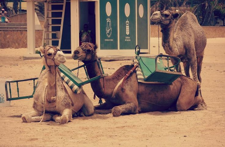 #Photography #Camel #Camels #Animal #Sand #Beach #Spain